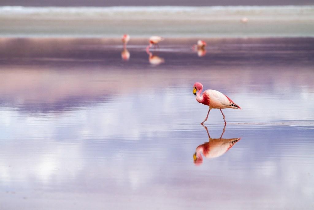 Flamingos RF