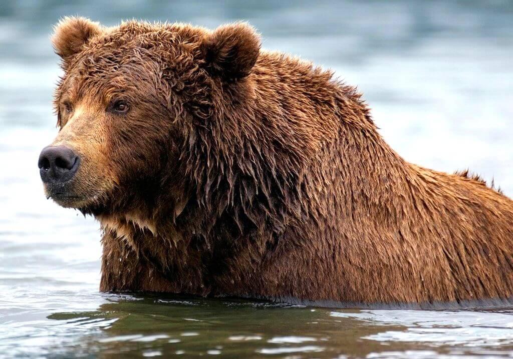 Grizzly bear RF