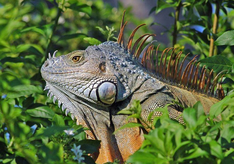 Iguana Florida RF