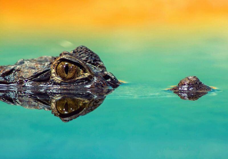Alligator RF