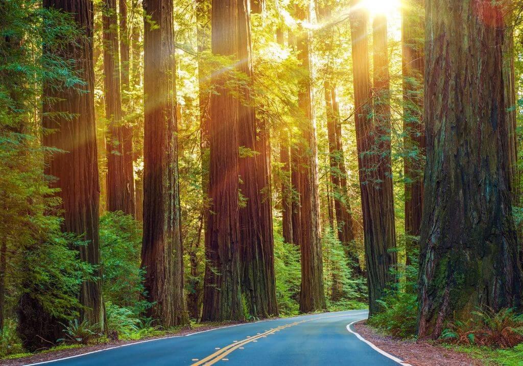 Redwood trees roadtrip California RF