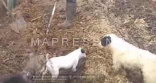طريقة غريبة لاصطياد فئران الحقل (فيديو)