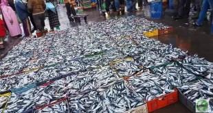 800 طن من سمك السردين في يوم واحد بأسفي… وسعر الكيلو أقل من درهم ونصف