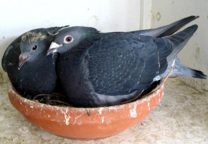 Spelen van jonge duiven door marathonspelers … (deel 3)