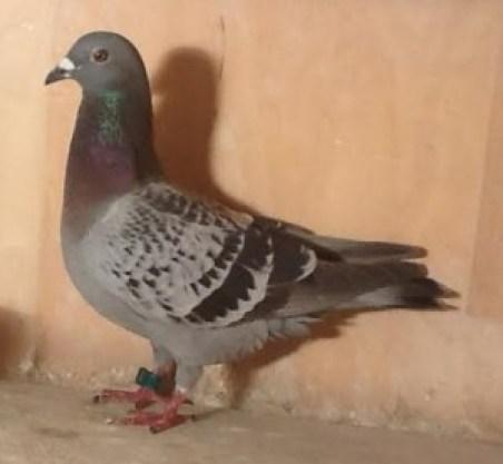 2e duif Narbonee