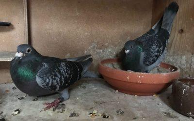 Te Koop: Jonge duiven uit Bewezen Kopvliegers