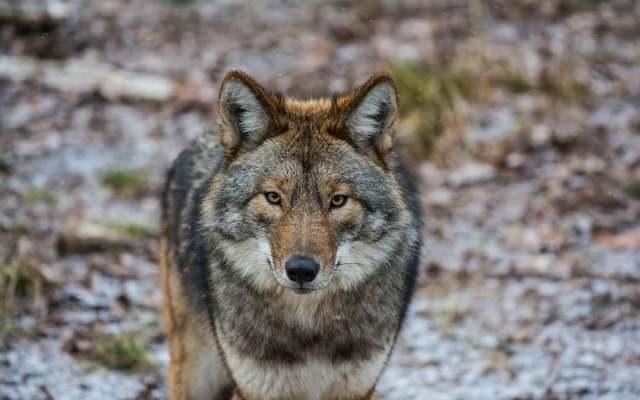 Encontrou um lobo no Gerês? 10 coisas que deve saber quando o enfrentar!