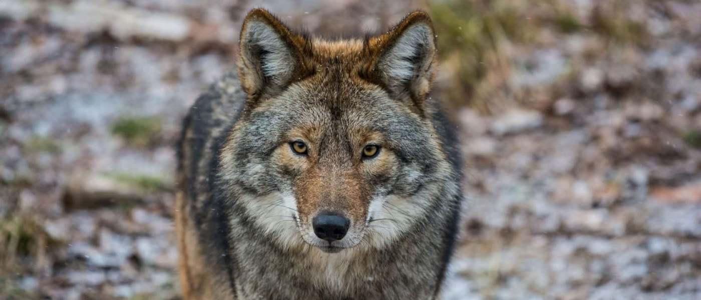 lobo-no-gerês