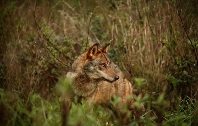 Lobo no Gerês-lobo-iberico-no-geres-lobo-no-geres