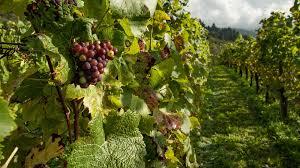 feria de la uva y vino parras 2021