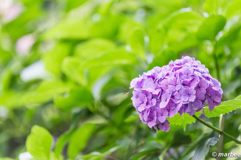 紫陽花 紫