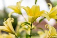ユリ 黄色