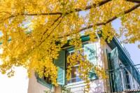 黄金色に染まった銀杏 やっと秋ですね