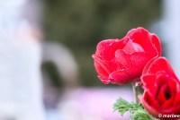 赤い薔薇 薔薇は冬でも楽しめる