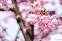 写真 染井吉野 201601 桜の季節は終わったけれど