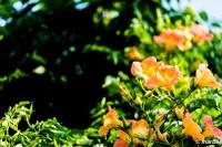 ノウゼンカズラ 夏の訪れを知らせる花
