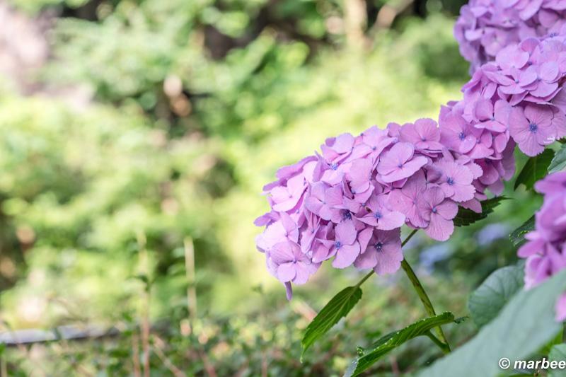 写真 紫陽花 季節は過ぎる
