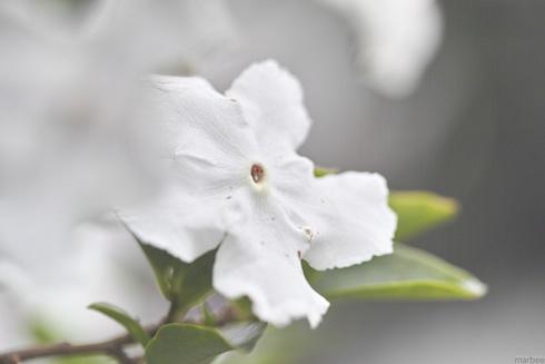 トロける白い花