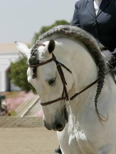 Andalusian Horses Marbella Guide