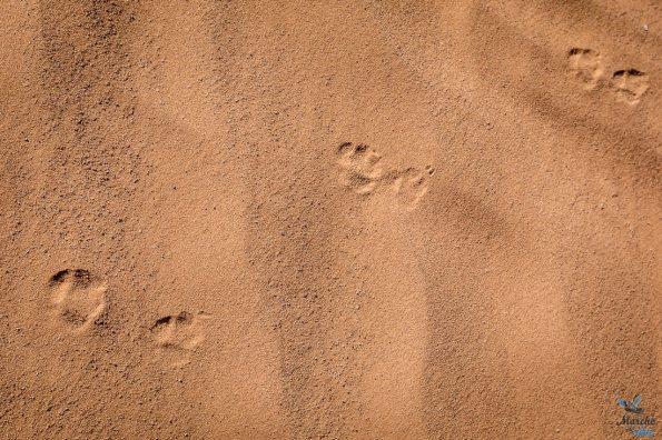 Trek désert - traces d'animaux dans le sable