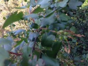 wild currant berries