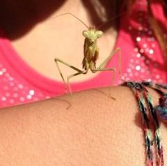 Climber the Praying Mantis