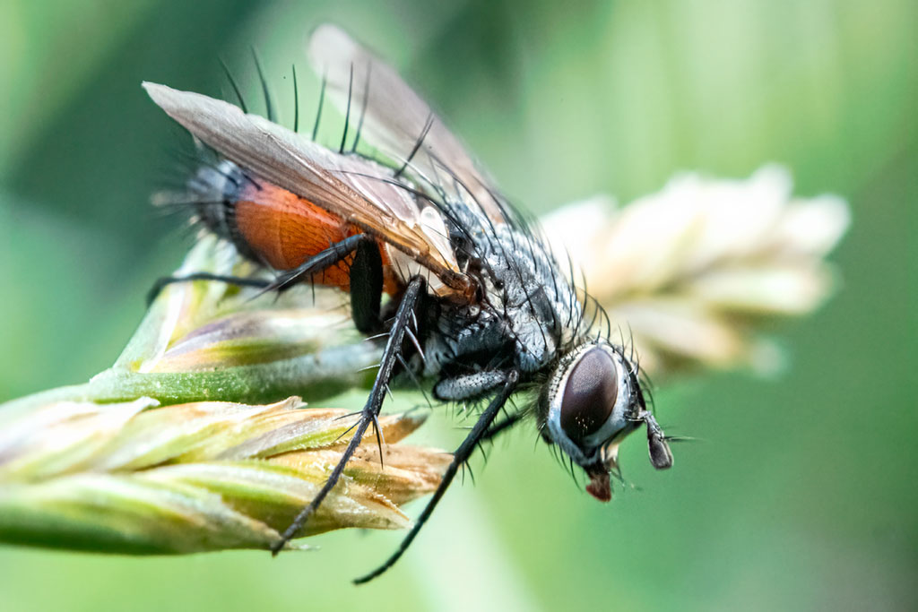 Kraśnica wachlarzykowata (Eriothrix rufomaculata)