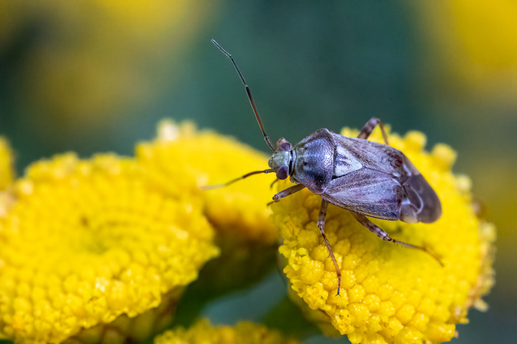 Zmienik ziemniaczak (Lygus pratensis)