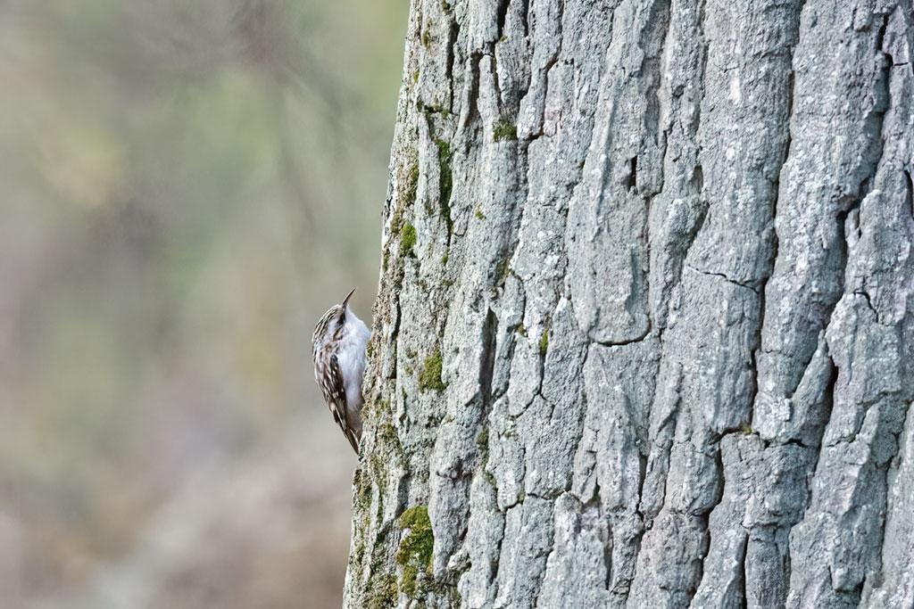 Pełzacz leśny (Certhia familiaris)