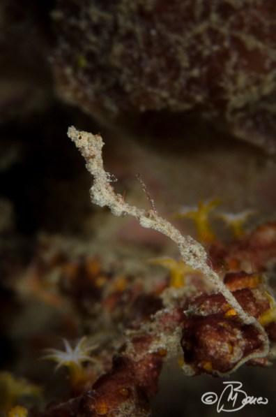 Kyonemichthys rumengani - Pasir Putih