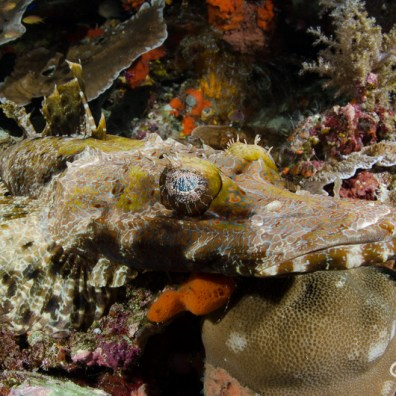 Cymbacephalus beauforti - Pasir Tidore