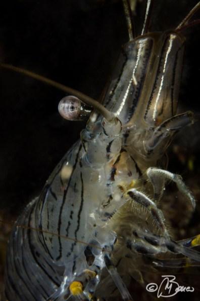 Palaemon serratus - Gamberetto maggiore