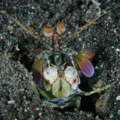 Odontodactylus latirostris - Air Prang