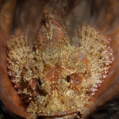 Scorpaenopsis oxycephala - Nudi Falls