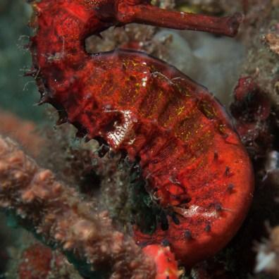 Hippocampus histrix - Tanjung Kubur