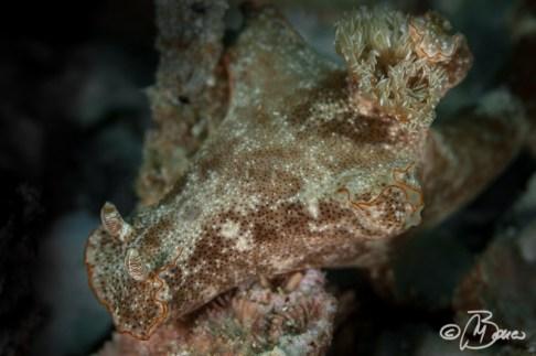 Ceratosoma tenue - Gato island