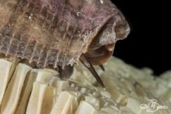 I murici depongono le loro uova in ogni anfratto o spaccatura