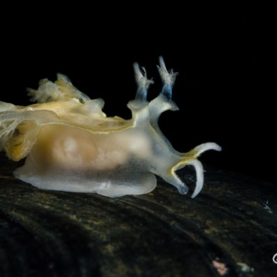 First sighting of this nudibranch in the Conero area
