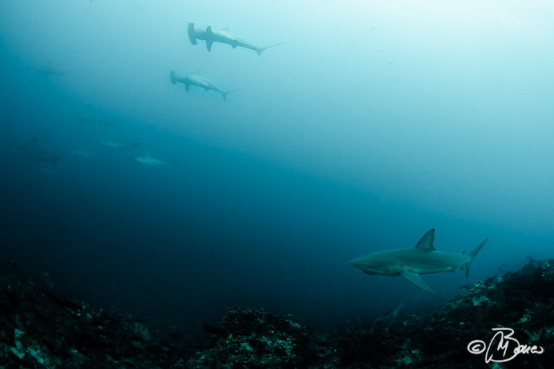 the reef - Carcharhinus galapagensis
