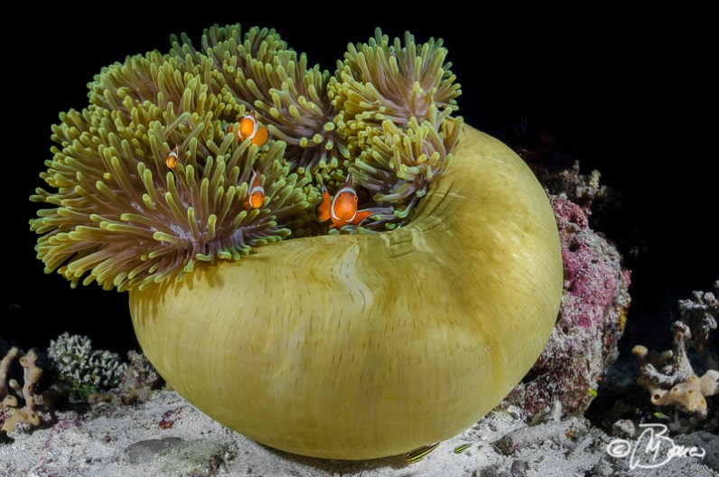 Amphiprion ocellaris - Cottege point (Sumilon island)