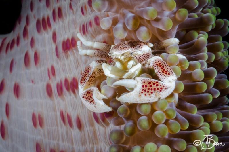 Neopetrolisthes maculatus - El Dorado house reef