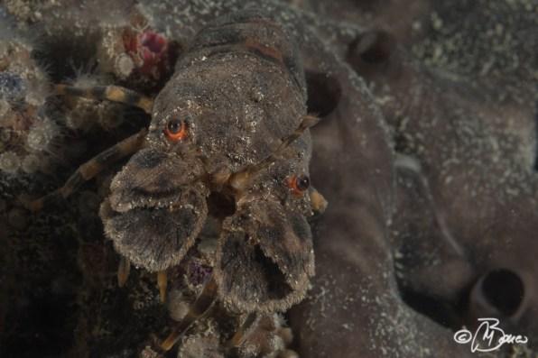 Scyllarus arctus - Trave