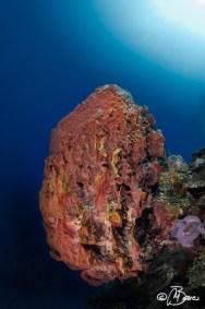 "Xestospongia sp. - Little Cayman ""Randy's gazebo"""