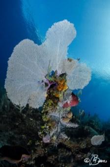 "Gorgonia ventalina - Little Cayman ""Lea Lea's Lookout"""
