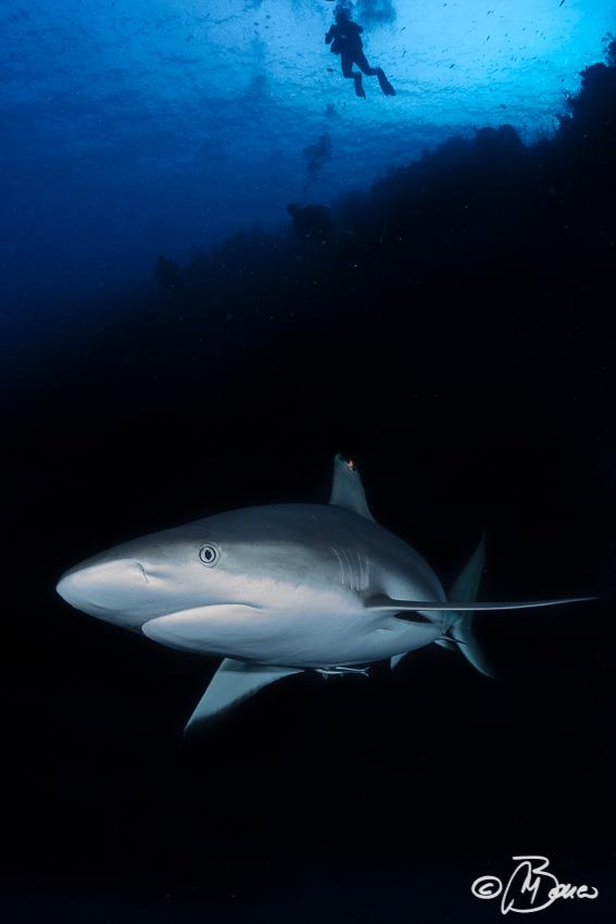 "Carcharhinus amblyrhynchos - Little Cayman ""Nancy's cup of tea"""