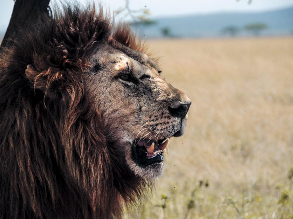 leone lion kink re bob marley tanzania serengeti predatore predator