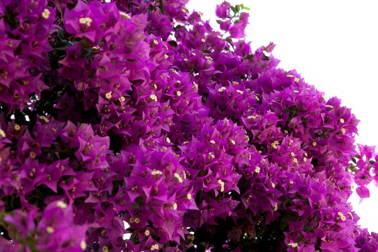 photo: purple bougainvillea flowers full bloom in north Corfu, by British Photographer Margaret Yescombe