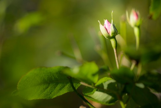 Photo: buds, flower, flowers, green, pink, rose, english countryside garden, image by British Photographer Margaret
