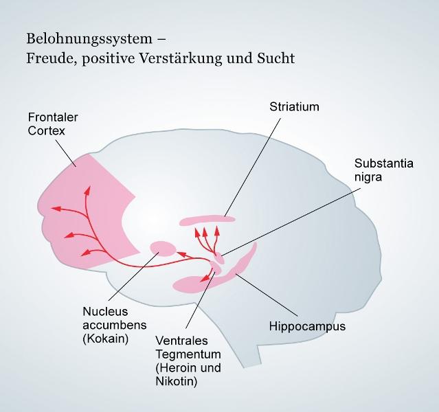 Belohnungssystem Quelle: www.dasgehirn.info/denken/motivation/bild-das-belohnungssystem