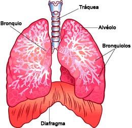 Diafragma, pulmones, traquea, alvéolo y bornquiolos